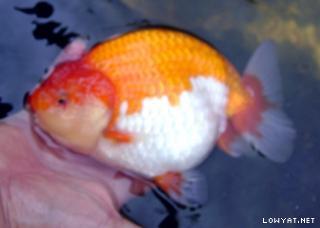 Goldfish Ranchus Orandas Etc