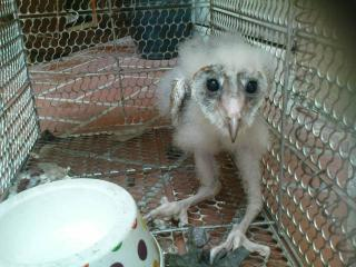 Barn Owl For Sale >> Owl For Sell