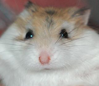 Chubby Hamster V10