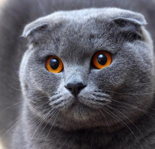 British shorthair short ears