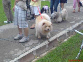 Any Chow Chow Owner Here